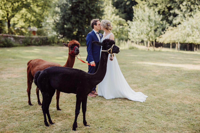 Alpakas vor Brautpaar