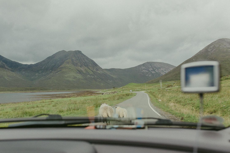 Schafe laufen auf der Strasse vor Auto auf Isle of Skye