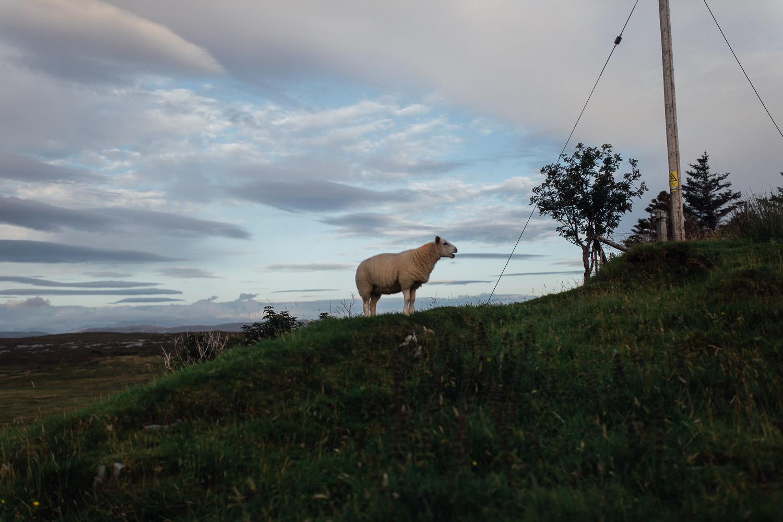 Schaf auf Hügel in Schottland