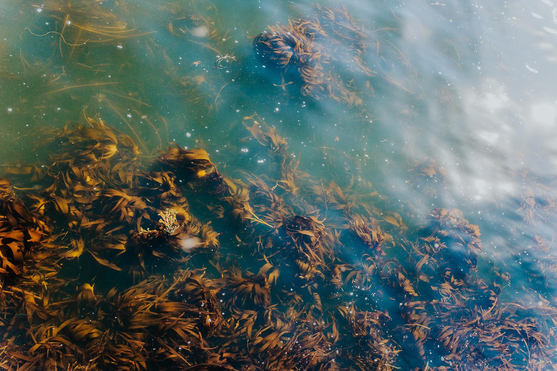 Algen im Meer vor Orkney Inseln